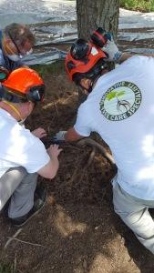 Girdling root assessment